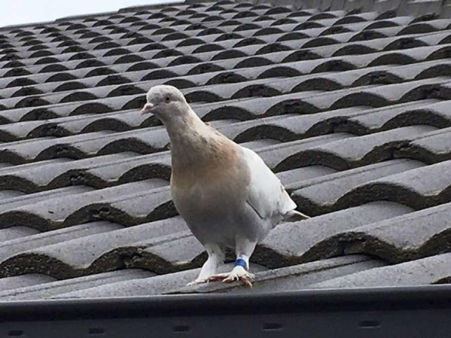 ВАвстралии занарушение карантина хотят усыпить голубя