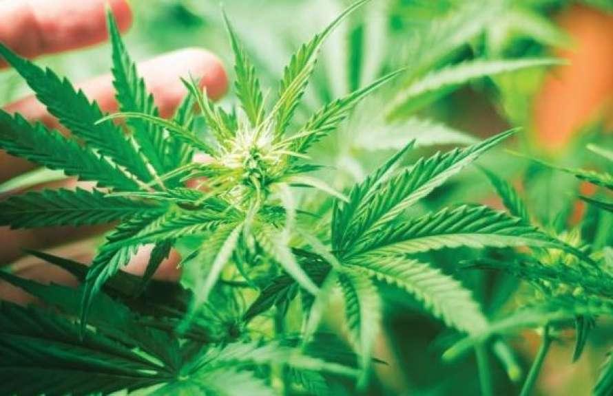 Иследования о марихуане тату рисунки конопля
