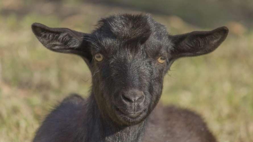 Коронавирус обнаружили у африканских коз и плодов папайи